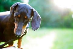 Retrato del perro basset negro en luz del sol brillante Mire abajo Imagen de archivo libre de regalías