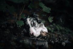 Retrato del perro blanco y negro con los oídos grandes que miran para arriba de observación fotografía de archivo libre de regalías