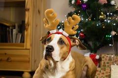 Retrato del perro con Rudolf el sombrero del reno y los oídos divertidos delante del árbol adornado de la piel y de presentes lle Imagen de archivo