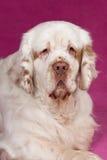 Retrato del perro de aguas de clumber agradable foto de archivo
