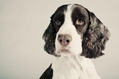 Retrato del perro de aguas de saltador fotos de archivo libres de regalías