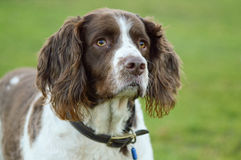 Retrato del perro de aguas de saltador Fotografía de archivo