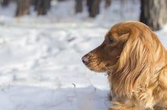 Retrato del perro de aguas ruso fotos de archivo