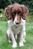 Retrato del perro del perro de aguas de saltador fotografía de archivo libre de regalías