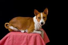 Retrato del perro de Basenji Fotografía de archivo