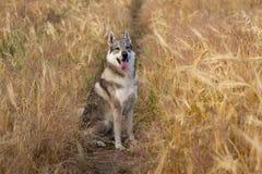 Retrato del perro de caza en campos foto de archivo