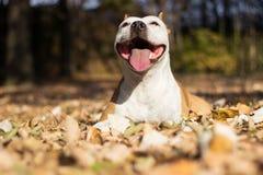 Retrato del perro de la felicidad foto de archivo libre de regalías