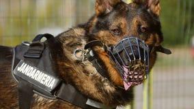 Retrato del perro de la gendarmería Fotografía de archivo libre de regalías