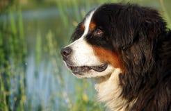 Retrato del perro de montaña de Bernese Imagen de archivo libre de regalías