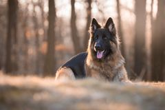 Retrato del perro de pastor alemán en sol de la mañana de la primavera Foto de archivo libre de regalías