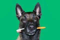 Retrato del perro de pastor de Malinois del belga con un cepillo de dientes entre los dientes para la higiene y el cuidado dental foto de archivo