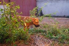 Retrato del perro de pastor pitbull-boerboel-alemán de la raza mezclada en yarda durante hora de oro foto de archivo