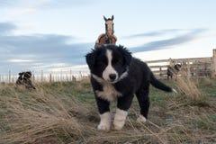 Retrato del perro de perrito del border collie que le mira Imagen de archivo libre de regalías