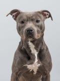 Retrato del perro de Pitbull Imagen de archivo libre de regalías
