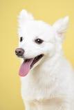 Retrato del perro de Pomerania en fondo amarillo Fotos de archivo
