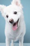 Retrato del perro de Pomerania en fondo azul Imagen de archivo libre de regalías