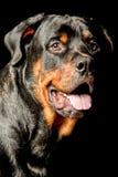 Retrato del perro de Rottweiler Foto de archivo