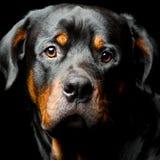 Retrato del perro de Rottweiler Imagen de archivo