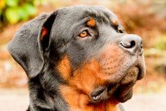 Retrato del perro de Rottweiler del perfil Imagen de archivo libre de regalías