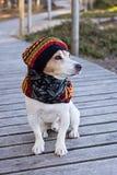Retrato del perro de Russell del enchufe que lleva en boina y bufanda hechas punto foto de archivo