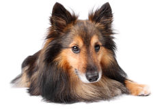 Retrato del perro de Sheltie foto de archivo libre de regalías