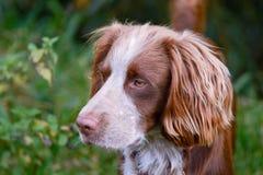 Retrato del perro de Sprollie Imagen de archivo