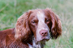 Retrato del perro de Sprollie Fotografía de archivo