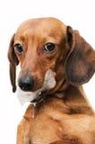 Retrato del perro de tejón cortado imagen de archivo