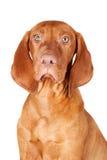 Retrato del perro de Viszla Fotografía de archivo libre de regalías