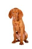 Retrato del perro de Viszla Foto de archivo