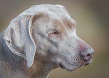 Retrato del perro de Weimaraner Foto de archivo libre de regalías