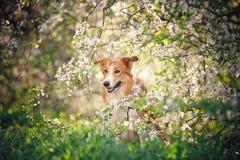 Retrato del perro del border collie en primavera imagen de archivo libre de regalías