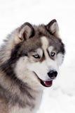 Perro del husky siberiano Fotografía de archivo