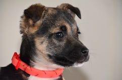 Retrato del perro del perfil Imagen de archivo libre de regalías
