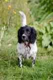 Retrato del perro del perro de aguas de saltador Imagen de archivo