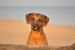 Retrato del perro del ridgeback de Rhodesian Fotos de archivo