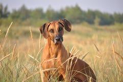 Retrato del perro del ridgeback de Rhodesian Imágenes de archivo libres de regalías