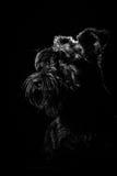 Retrato del perro en el fondo negro, schnauzer Foto de archivo libre de regalías