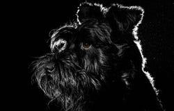 Retrato del perro en el fondo negro, schnauzer Imagen de archivo libre de regalías