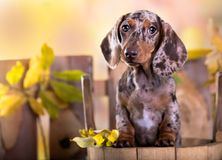 Retrato del perro en fondo del otoño Imagen de archivo libre de regalías