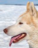 Retrato del perro esquimal en Islandia Fotos de archivo libres de regalías