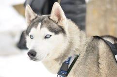 Retrato del perro esquimal siberiano Fotografía de archivo libre de regalías
