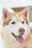 Retrato del perro esquimal siberiano Imagenes de archivo