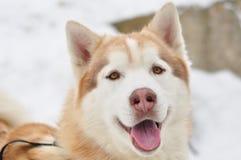 Retrato del perro esquimal siberiano Fotografía de archivo