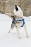 Retrato del perro esquimal siberiano Fotos de archivo