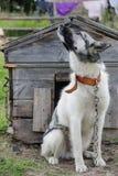 Retrato del perro guardián en el fondo de madera de la cabina imagen de archivo