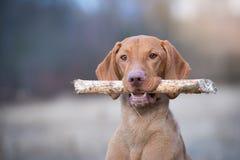 Retrato del perro húngaro del indicador del vizsla en puesta del sol de la tarde Fotografía de archivo
