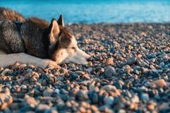Retrato del perro del husky siberiano que miente en la orilla que pone su cara en los guijarros foto de archivo