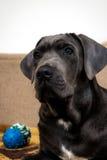 Retrato del perro joven del corso del bastón Fotografía de archivo