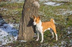 Retrato del perro lindo del basenji que coloca el árbol cercano en parque foto de archivo